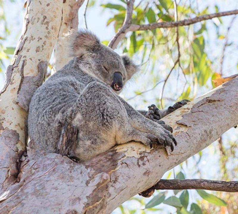 Koala asleep, Queensland